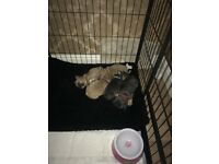 kc registered french bulldog puppies 9wks old