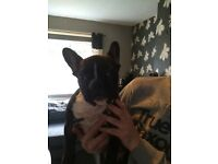 Stunning KC registered French Bulldog Male for sale