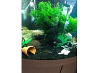 2 x oscars tropical fish for fish tank very nice u can look pic 4 inches