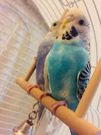 Budgies young for sale