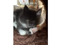 Beautiful Registered Pedigree Maine Coons Kittens