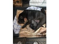 4 puppies for sale