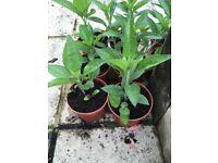 Rubeckia Plants for sale