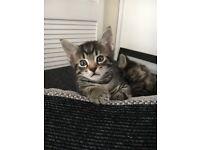 Boy tabby kitten