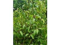Portuguese laurel hedge