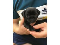 3/4 Pug Puppies for Sale St Clears