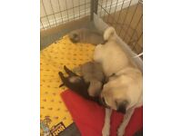 3 pug puppy's all kc registered 1 black 2 fawn