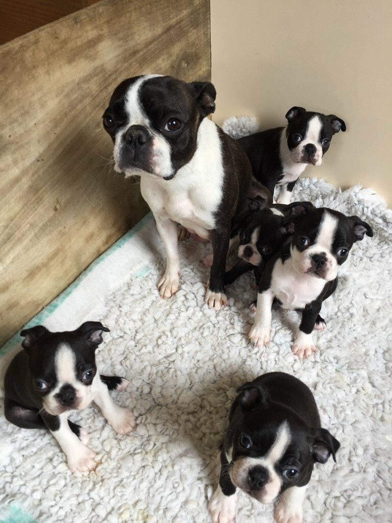 free boston terrier puppies boston terrier puppies for sale in magherafelt 8704