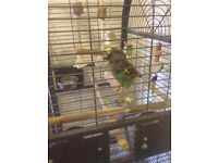 ** 2 year old mayers parrot, chatty character with cage **