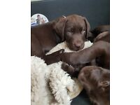 Labrador pure breed chocolate puppy. 8 wks old pedigree of reg