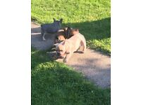 Reduced Kc registered French bulldog boys and girl