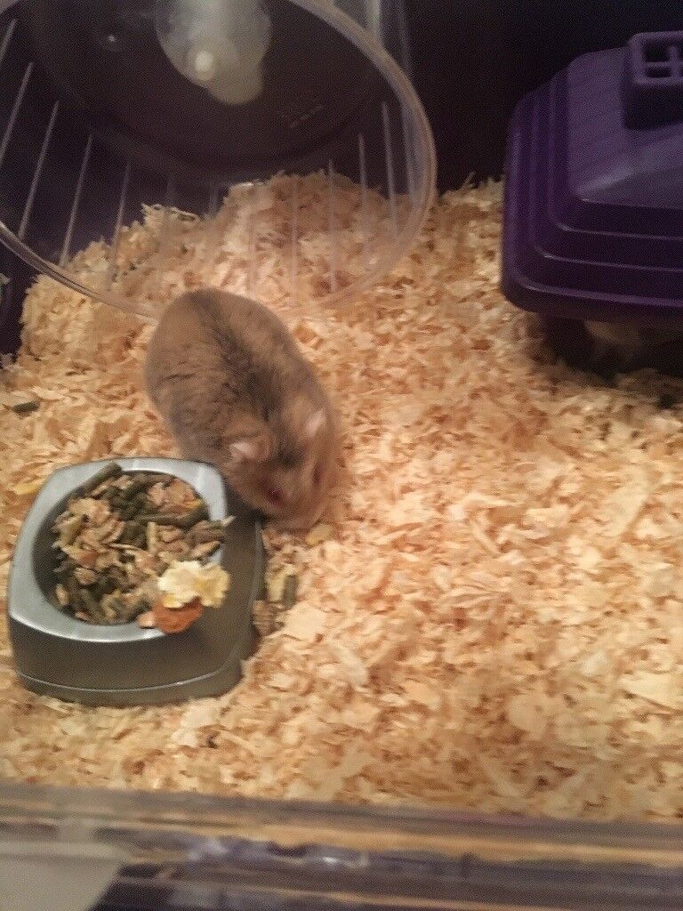 Dwarf hamster with cage and accessories