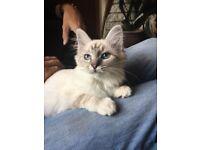 Beautiful rare Lilac Silver Tabby Birman Kittens