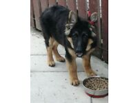 GERMAN SHEPHERD PUPP MALE SOLD