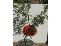 Two Victoria plum trees 5 years old grown from seed