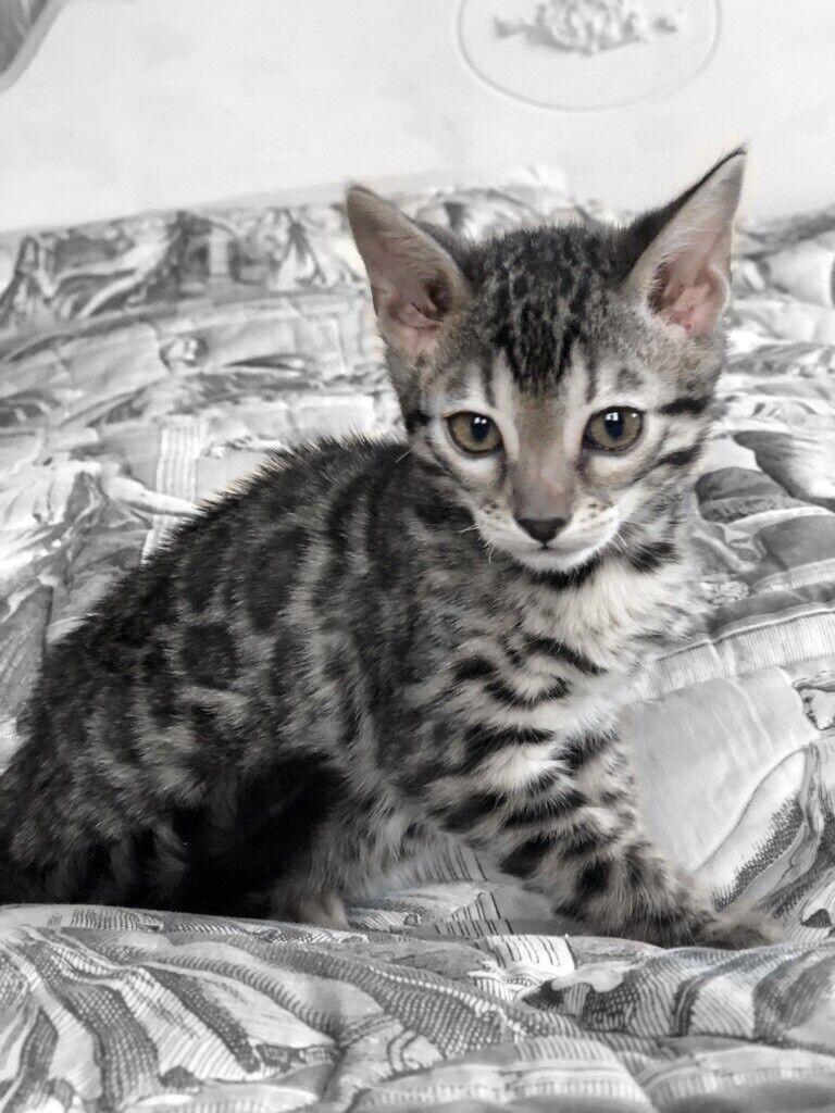 Fantastic Female Silver Pedigree Bengal Kittens Kitten In Huddersfield West Yorkshire Gumtree
