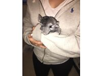 Pair of beautiful chinchillas