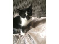 Four stunning black and white kittens for sale