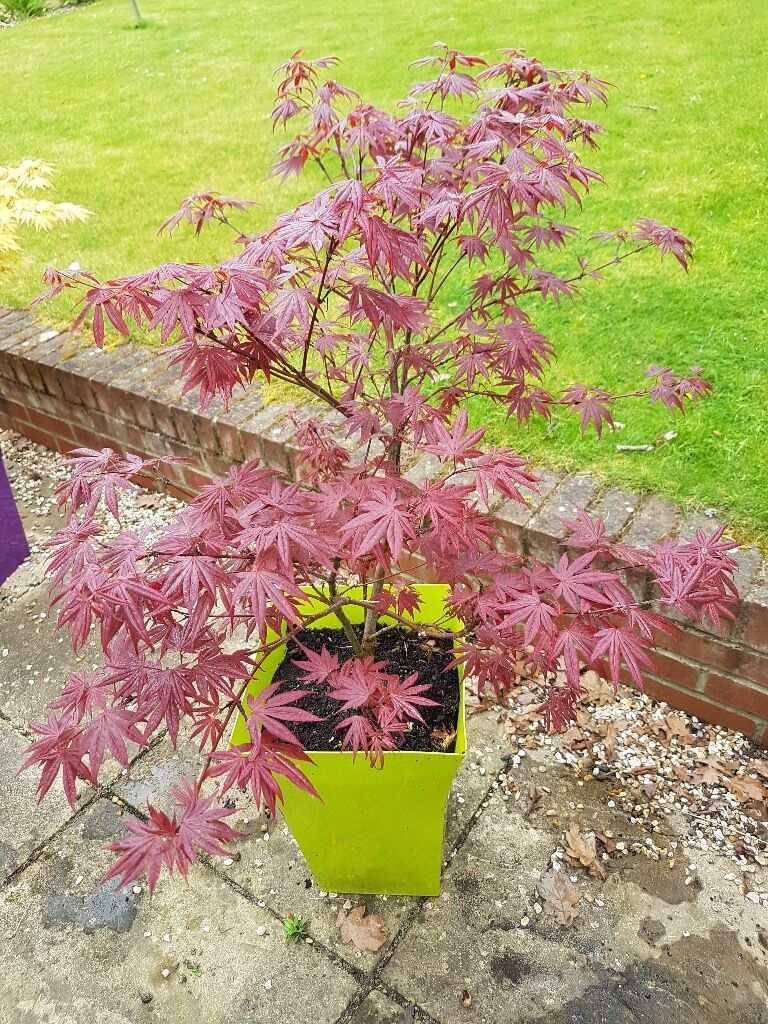 Acer Palmatum Atropurpureum Japanese Maplein Chandlers Ford, HampshireGumtree - Acer Palmatum– 'Atropurpureum' Japanese Maple Beautiful Japanese Maple Acer for sale.  This Acer 'Atropurpureum' is very healthy and growing well. It is perfect for small gardens as it is slow growing. It is already of a good size, being...