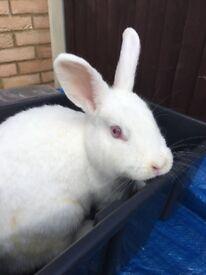 Beautiful Old English Female Rabbit