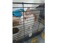 Boy rabbit lovely an friendly 3month old
