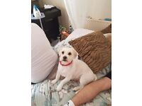 2 year old female dog lhasa apso for sale