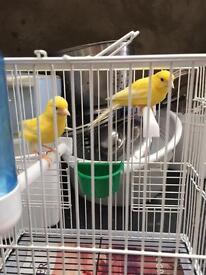 Pair of razor canarys for sale