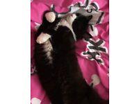Black & white female cat 10 month old .