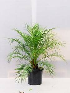 Pygmy Date Palm 30cm Greenvale Hume Area Preview