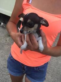 Stunning little chihuahua pup