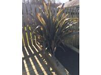 For FREE!!! 4 medium phornium plants