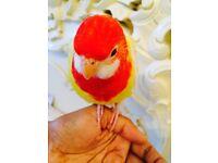 HandTamed Baby Lutino Rosella Parrots