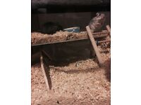 2x male gerbils, come with large tank and tons of accessories