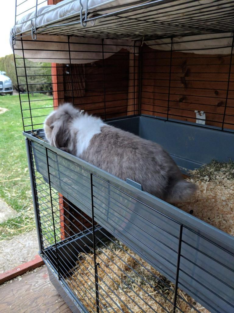 FREE Adult doe mini lionlop for sale HUTCH NOT INCLUDED