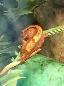 Young Crested Gecko with set up