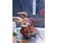 Coral finger