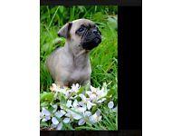 French bulldog cross pups