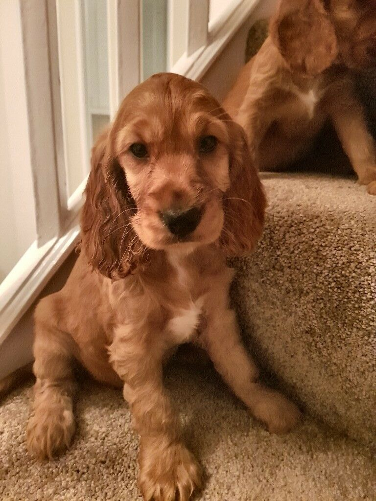 Er Spaniel Pups In Stockport Manchester Gumtree