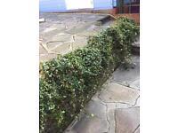 Ivy plant pots