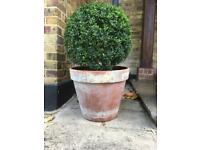 "GORGEOUS LARGE BOX BALL PLANT - 86cms tall (34"")"