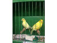 waterslagger canaries