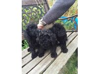 Black Toy Poodles For Sale