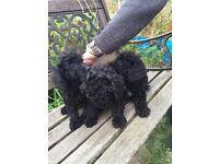 Black Toy Poodles For Sale