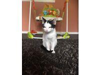 8 week old female kitten, house trained, full on energy loves to play