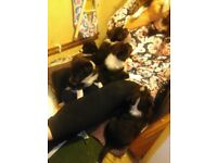 Border Collie Puppies ONLY 2 Girls Left