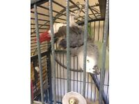 African Grey Congo Parrot 8 year old