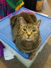 Adorable Tabby male: neutered