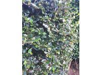 Large topiary/hedging shrub