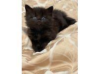 Deep, chocolate, brown/black, male kitten x