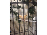 Canary for sale!